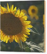 A Sunflower Bows To Its Own Weight Wood Print