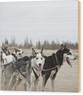 A Team Of Dogs Pull A Cart Wood Print