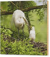 A Tender Moment - Great Egret And Chick Wood Print