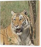 A Tiger Lying Casually But Fully Alert Wood Print