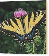 A Tiger Swallowtail Butterfly Feeds Wood Print