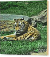 A Tiger's Gaze Wood Print by Paul Ward