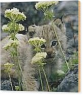 A Tiny Lynx Cub Felis Lynx Peeks Wood Print