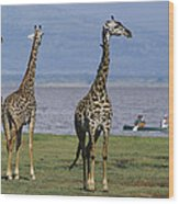 A Trio Of Giraffes Near The Edge Wood Print