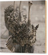 A Trio Of Ostriches, Struthio Camelus Wood Print