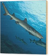 A Trio Of Whitetip Reef Sharks, Kimbe Wood Print
