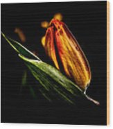 A Tulip With Sheen Wood Print