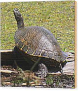 A Turtle Sunning Wood Print
