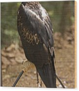 A Wedge-tailed Eagle At A Wild Bird Wood Print