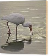 A White Ibis Probes The Mud Wood Print