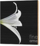 A White Lily Wood Print