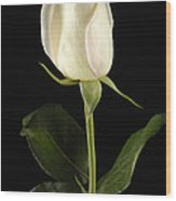 A White Rose Rosaceae Wood Print