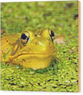 A Yellow Bullfrog Wood Print