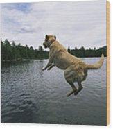 A Yellow Labrador Retriever Jumps Wood Print