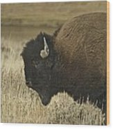 A Yellowstone Bison 9615 Wood Print