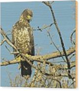 A Young Eagle Gazing Down  Wood Print