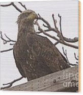 A Young Eagle In The Midst Of Change  Wood Print