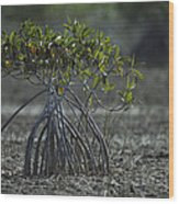 A Young Mangrove Tree Wood Print by Klaus Nigge