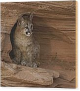 A Young Mountain Lion Rests In A Rocky Wood Print