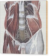 Abdominal Spinal Nerves Wood Print
