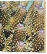 Acropora Plate Coral Polyps Wood Print