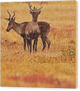 Adult Caribou In The Fall Colours Wood Print