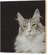 Adult Maine Coon Cat, Close-up Wood Print
