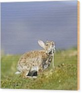 Adult Rabbit Marking Scent Wood Print by Duncan Shaw