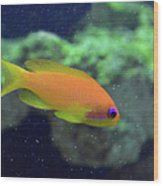 African Anthias Wood Print
