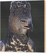 African Crowned Eagle Wood Print