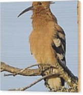 African Hoopoe Wood Print