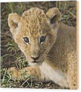 African Lion Panthera Leo Five Week Old Wood Print