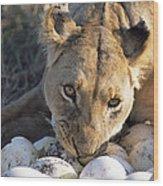 African Lion Panthera Leo Raiding Wood Print