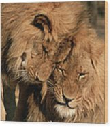 African Lion Panthera Leo Two Males, Mt Wood Print