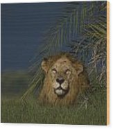 African Lion Resting Near A Palm Wood Print