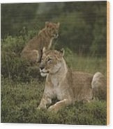 African Lionesses In Masai Mara Wood Print