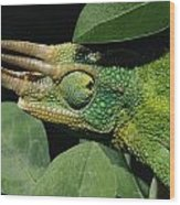 African Male Jacksons Chameleon Wood Print