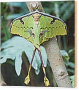 African Moon Moth 1 Wood Print