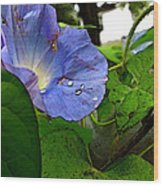 Aging Morning Glory Wood Print