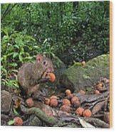 Agouti Dasyprocta Punctata Feeding Wood Print