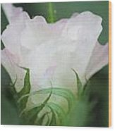 Agriculture - Cotton Bloom Wood Print