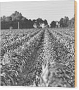 Agriculture- Corn 2 Wood Print