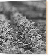 Agriculture- Soybeans 2 Wood Print