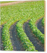 Agriculture- Soybeans 3 Wood Print