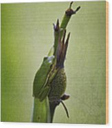 Alabama Green Tree Frog - Hyla Cinerea Wood Print