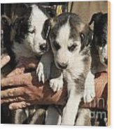 Alaskan Huskey Puppies Wood Print by John Greim