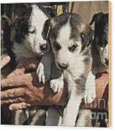 Alaskan Huskey Puppies Wood Print