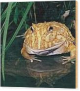 Albino Horned Frog Wood Print
