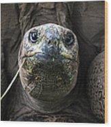 Aldabra Tortoise Wood Print