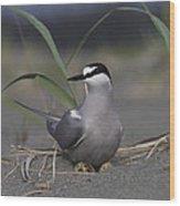 Aleutian Tern Sterna Aleutica On Ground Wood Print